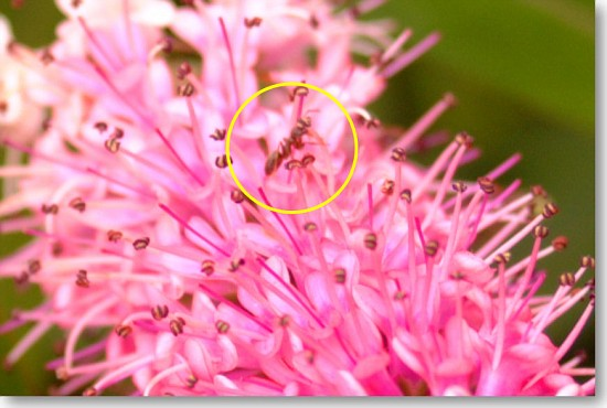 Ant crawling on an open flower (zoomed)